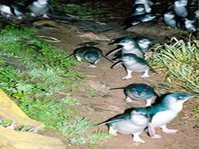 Penneshaw Penguin Centre - Accommodation Port Macquarie