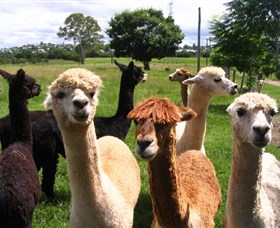 Banyandah Alpacas - Accommodation Port Macquarie