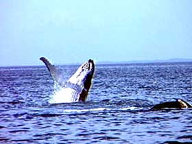 Whale Watching - Accommodation Port Macquarie