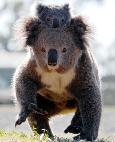 Koalas in Gunnedah - Accommodation Port Macquarie