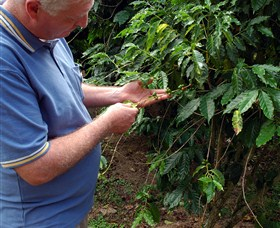Wombah Coffee Plantation - Accommodation Port Macquarie