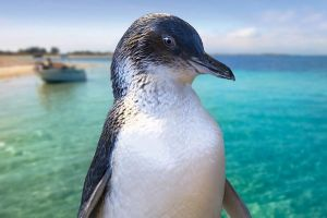 Full-Day Penguin Island  Fremantle Town - Accommodation Port Macquarie