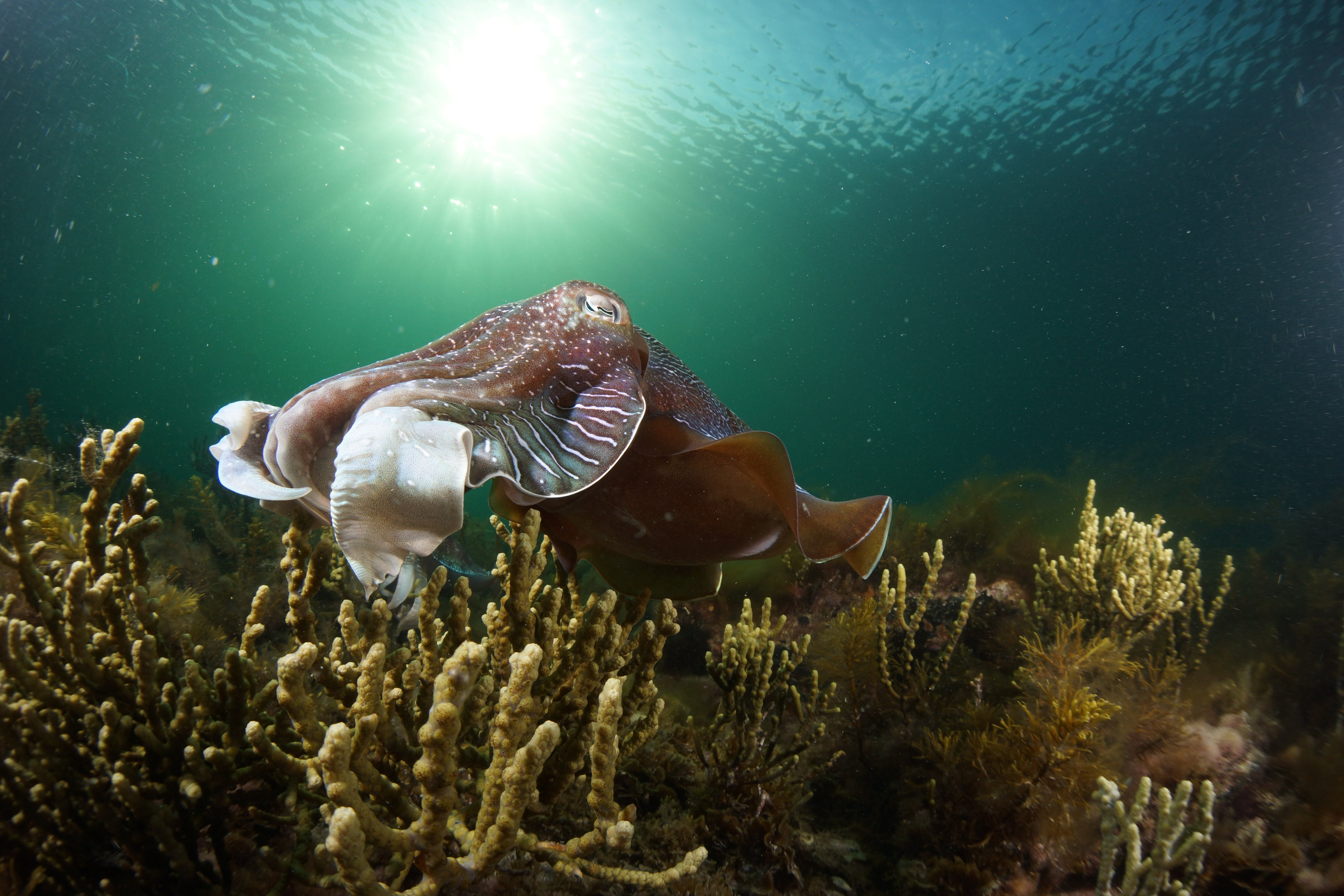 Cuttlefish Diving  Snorkeling EVERYDAY May -August - Accommodation Port Macquarie